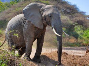 elephants tanzanie